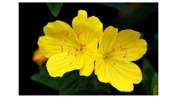 Growing evening primrose